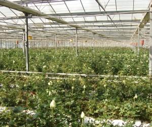 Roses greenhouse Nafplio