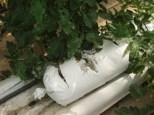 Pumice bag for tomatoes greenhouse