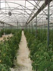 Tomatoes greenhouse Nafplio