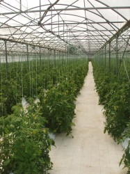 Tomatoes greenhouse II